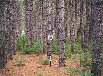 C6 - Conifer Plantation